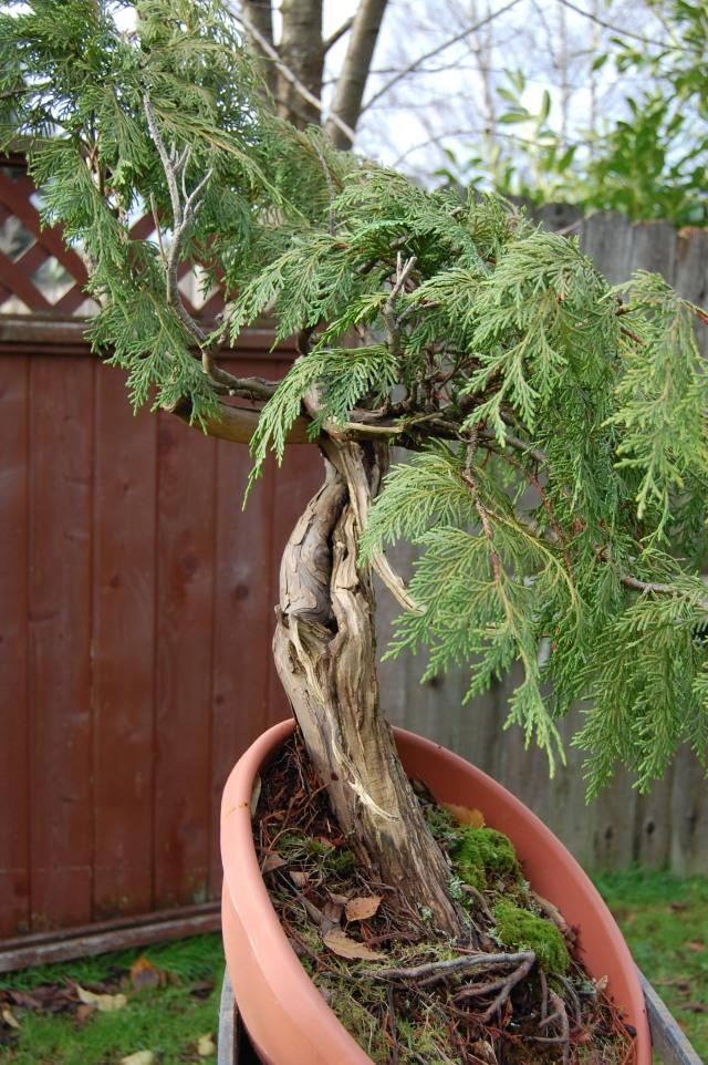 Cedar before